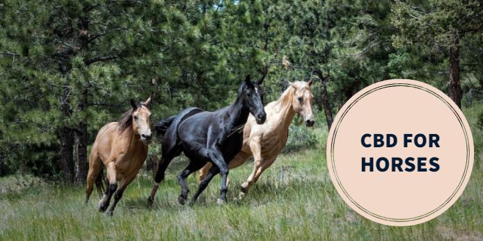 Using CBD For Horses