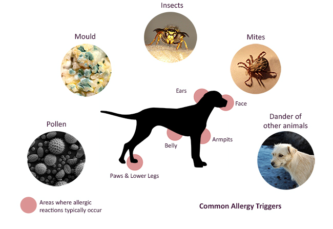 Causes Of Skin Allergies In Dogs