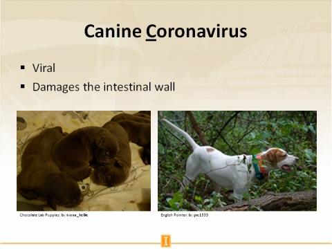 Canine Coronavirus on dogs