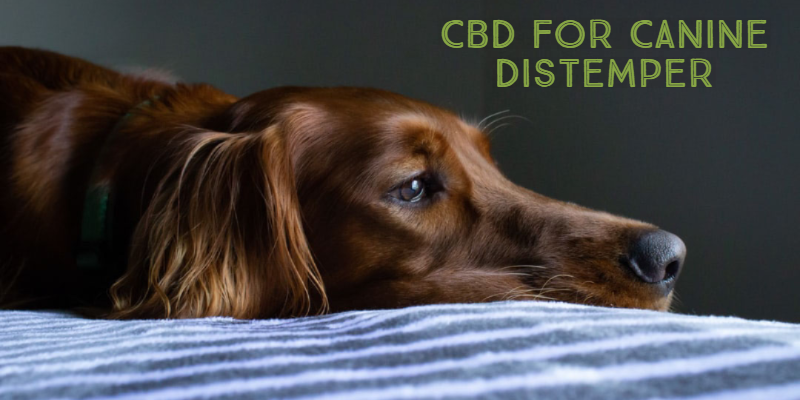 Treating Canine Distemper With The Help Of CBD