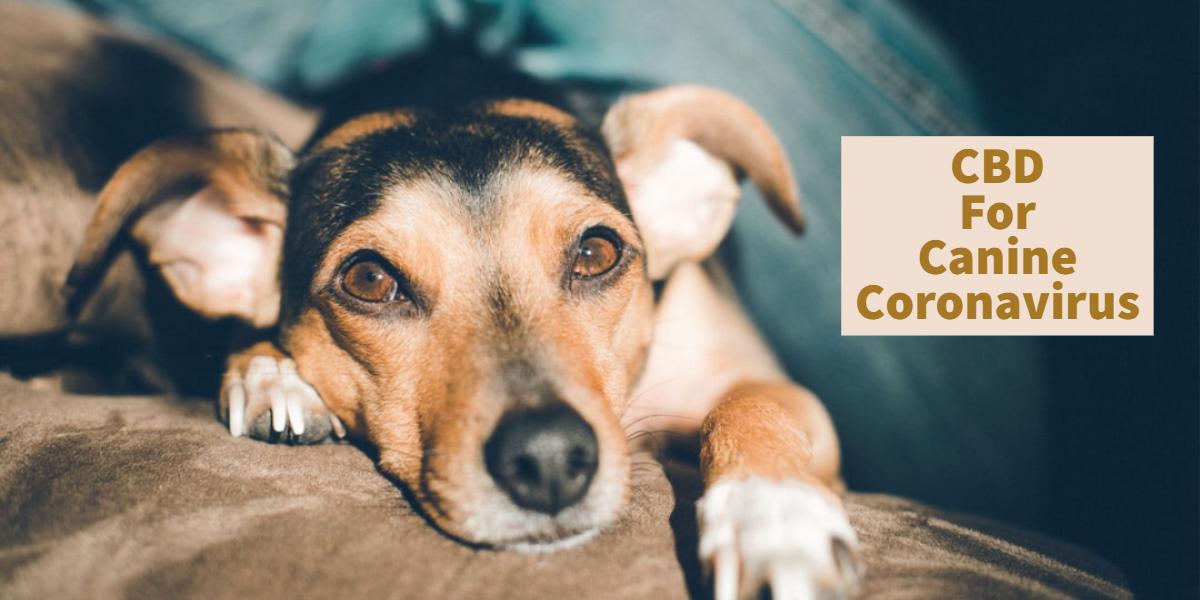 Using CBD To Treat Canine Coronavirus Infection