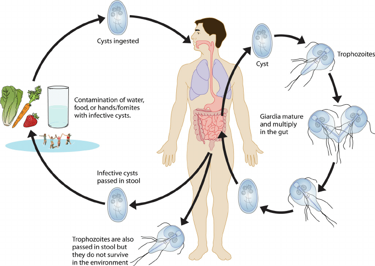 How is Giardia caused
