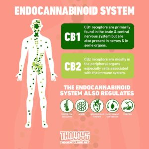 Endocannabinoid System ECS,cbd for energy