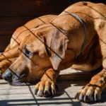 How does a dog get kennel cough?